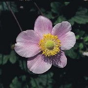 Anemone japonica (Mixed) - 1 packet (30 seeds)
