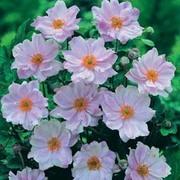 Anemone hybrida 'Queen Charlotte' - 1 anemone jumbo plug plant
