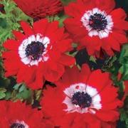 Anemone coronaria 'The Governor' - 50 anemone bulbs