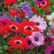 Anemone coronaria 'St Bridgid' - 75 anemone tubers