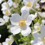 Anemone sylvestris (Large Plant) - 2 x 2 litre anemone potted plants