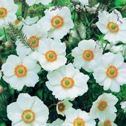 Anemone x hybrida 'Honorine Jobert' (Large Plant) - 1 x 1 litre potted anemone plant