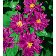 Anemone hupehensis var. japonica 'Prinz Heinrich' (Large Plant) - 1 x 2 litre potted anemone plant