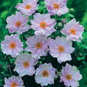 Anemone hybrida 'Queen Charlotte' (Large Plant) - 1 x 2 litre potted anemone plant