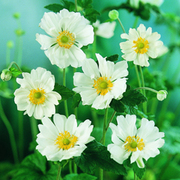 Anemone x hybrida 'Whirlwind' (Large Plant) - 1 x 2 litre potted anemone plant