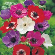 Anemone coronaria 'De Caen' Mixed - 100 anemone bulbs