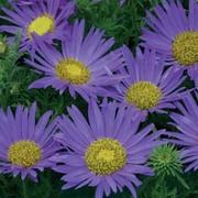Machaeranthera tanacetifolia - 1 packet (100 machaeranthera seeds)