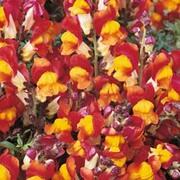 Antirrhinum majus nanum 'Rembrandt' - 1 packet (200 antirrhinum seeds)