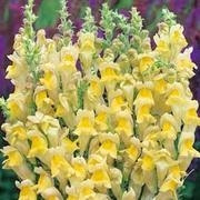 Antirrhinum braun-blanquetii - 1 packet (100 antirrhinum seeds)
