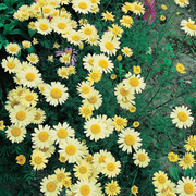 Anthemis tinctoria 'E.C. Buxton' (Large Plant) - 2 x 2 litre anthemis potted plants