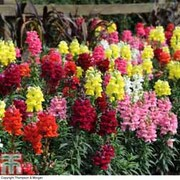 Antirrhinum 'Candy Canes Mixed' - 72 antirrhinum plug plants