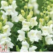 Antirrhinum majus 'Royal Bride' - 72 antirrhinum plug plants