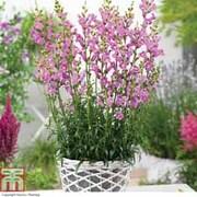 Antirrhinum 'Pretty in Pink' - 3 antirrhinum jumbo plug plants