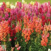 Antirrhinum 'Floral Showers Mixed' (Garden Ready) - 30 anitirrhinum garden ready plants