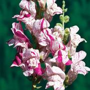 Antirrhinum majus 'Purple Twist' F1 Hybrid - 1 packet (30 antirrhinum seeds)