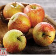 Apple 'Braeburn' - 1 root wrap apple tree