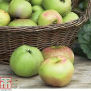 Apple 'Bramley's Seedling' - 1 root wrap apple tree