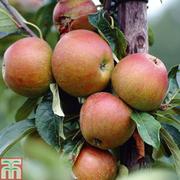 Apple 'Cox's Orange Pippin' - 1 root wrap apple tree