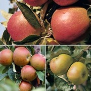 Apple (Britain's Favourites Collection) - 3 apple trees - 1 of each variety