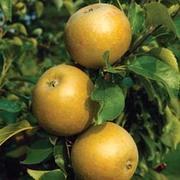 Apple 'Egremont Russet' - 1 root wrap apple tree