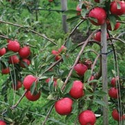 Apple 'Red Falstaff' - 1 root wrap apple tree