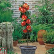 Apple 'Gala' (Mini Fruit Tree) - 1 x 9cm potted apple plant