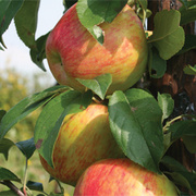 Apple 'Sir Isaac Newton' - 1 root wrap apple tree
