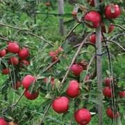 Apple ' Red Falstaf' - 1 bare root apple tree