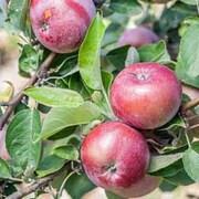 Apple 'Spartan' - 1 bare root apple tree
