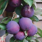 Apple Columnar 'Purple Haze' ® - 1 bare root apple tree