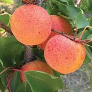 Apricot 'Orange Summer'® - 1 feathered maiden apricot tree