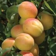Aprium 'Cot 'n Candy'® - 1 maiden aprium tree