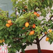 Apricot 'Aprigold'® (patio) - 1 patio apricot tree
