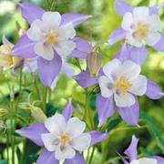 Aquilegia caerulea - 1 packet (100 aquilegia seeds)