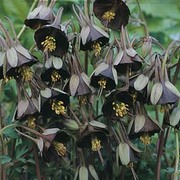 Aquilegia viridiflora 'Chocolate Soldier' - 1 packet (20 aquilegia seeds)