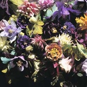 Aquilegia x hybrida 'Crown Jewels Mixed' - 1 packet (20 aquilegia seeds)