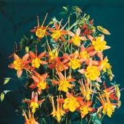 Aquilegia x hybrida 'Firecracker' - 1 packet (30 aquilegia seeds)