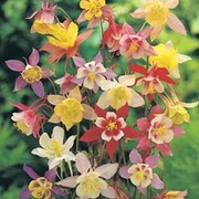 Aquilegia x hybrida 'McKana Giants Mixed' - 1 packet (200 aquilegia seeds)