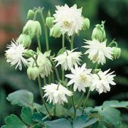 Aquilegia x hybrida 'Green Apples' - 1 packet (20 aquilegia seeds)