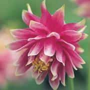 Aquilegia vulgaris 'Nora Barlow' - 1 packet (50 seeds)