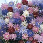Aquilegia vulgaris 'Nora Barlow Mixed' - 1 packet (50 seeds)