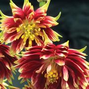 Aquilegia vulgaris var. stellata 'Nora Barlow' (Large Plant) - 1 x 1 litre potted aquilegia plant