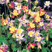 Aquilegia caerulea 'Mrs Scott-Elliott' (Large Plant) - 1 x 1 litre potted aquilegia plant