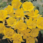 Aquilegia chrysantha 'Yellow Star' (Large Plant) - 1 x 1 litre potted aquilegia plant