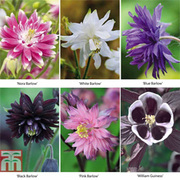 Aquilegia vulgaris Collection - 18 bare root plants - 3 of each variety