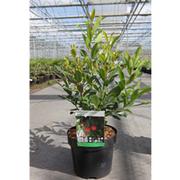 Arbutus unedo f. rubra (Large Plant) - 1 x 3.6 litre potted arbutus plant