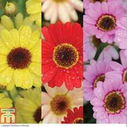 Argyranthemum GranDaisy Collection - 6 argyranthemum Postiplug plants - 2 of each colour