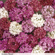 Armeria 'Mixed' - 6 armeria plug plants