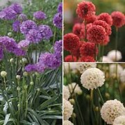 Armeria pseudarmeria 'Ballerina Mixed' - 1 packet (20 armeria seeds)