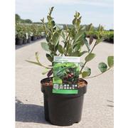 Aronia x prunifolia 'Autumn Magic' (Large Plant) - 1 x 3.6 litre potted aronia plant